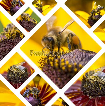 kolaz western honey bee tlo