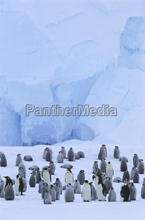 ptak zimno chlod kolonia pingwin na