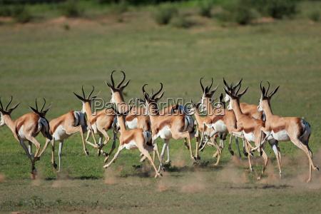 running springbock antilopen