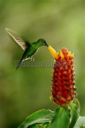 green koronowany genialny kolibra heliodoxa jacula
