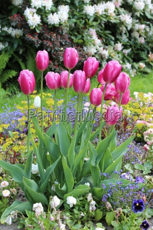 pink tulips in a blooming garden