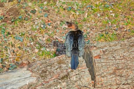 ptak kormoran