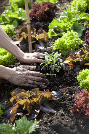 mans hand planting tomato plant in