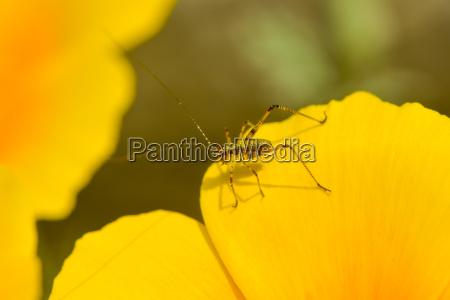 meski larwa yellow zolty