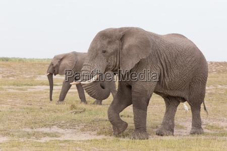 stada dzikie slonie w amboseli national