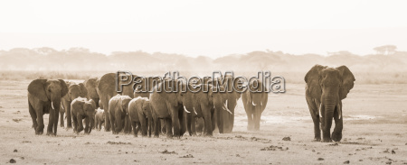stado dzikich sloni w amboseli national