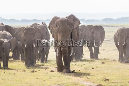 stado dzikich slonie w amboseli national