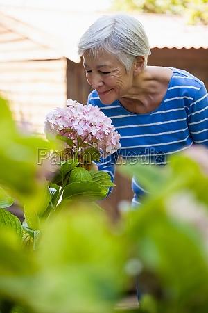 usmiechnieta starsza kobieta pachnace rozowe hortensja