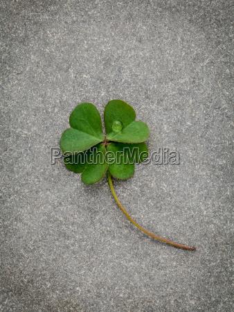 clovers pozostawia na tle kamienia symbolika