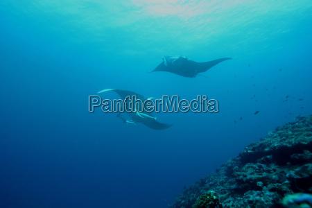 manta ray diving podwodne wyspy galapagos