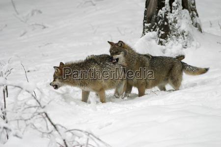 rank behavior in wolfen canis lupus