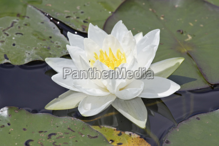 white water lily or water lily