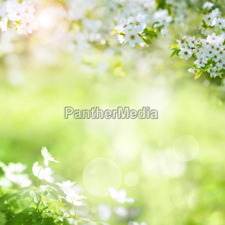 wiosna, krajobraz, z, wiśniowe, kwiaty - 23883752