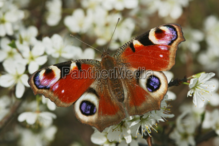peacock butterfly nymphalis io on bleeding