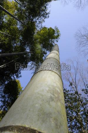 kielkowanie bambusa bambus eae wzbijajac sie