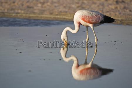 andean flamingo phoenicoparrus andinus lago chaxa