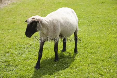 zwierze ssak fauna zwierzeta zwierzatka owiec