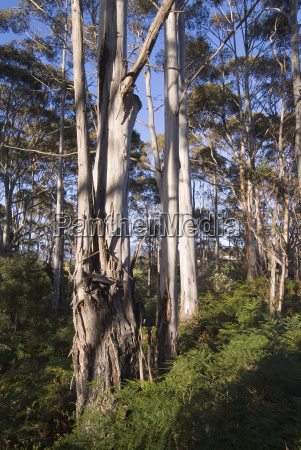 bialy gum tree eucalyptus tasmania australia