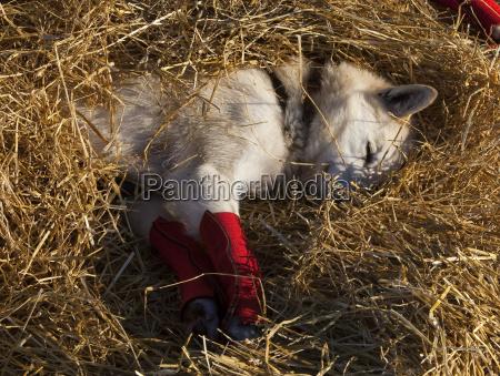 resting husky ankle bandages alaskan husky