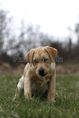 dog labrador golden retriever puppy