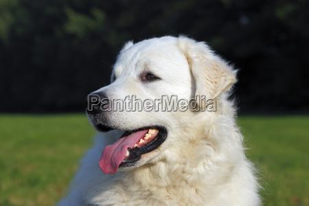 kuvasz canis lupus familiaris rude portrait