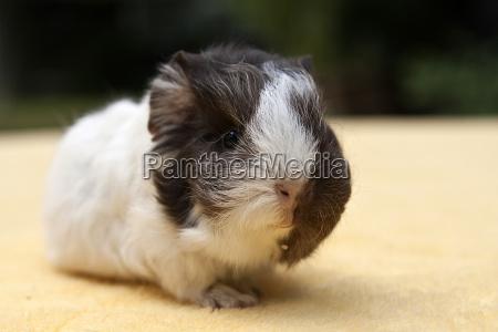 young guinea pig swiss guinea pig