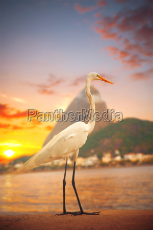 egret stands on a sunset