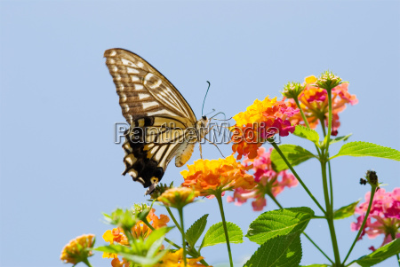 colorful swallowtail butterfly flying and feeding