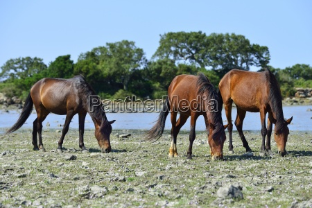 wild horses at the water pond