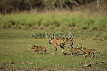 wild tigress with cubs walking across