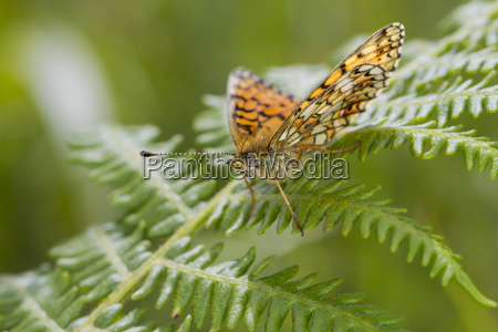 small pearl bordered fritillary butterfly boloria
