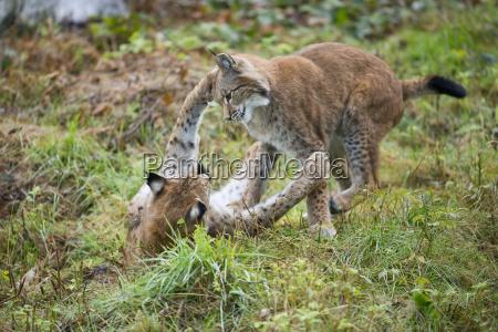 rys europejski lynx lynx lynx lynx