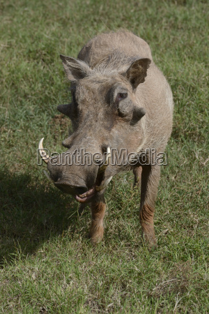 wart pig phacochoerus africanus addo elephant