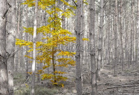 single deciduous tree in a pine