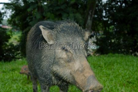 portrait wild boar wild swine or