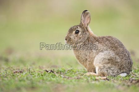 wild rabbit oryctolagus cuniculus niederosterreich austria