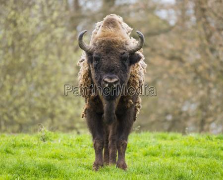 european bison bison bonasus in the