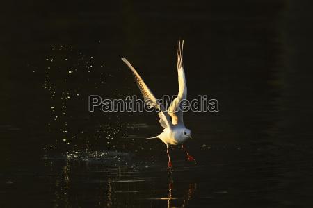 lachmowe larus ridibundus in flight over