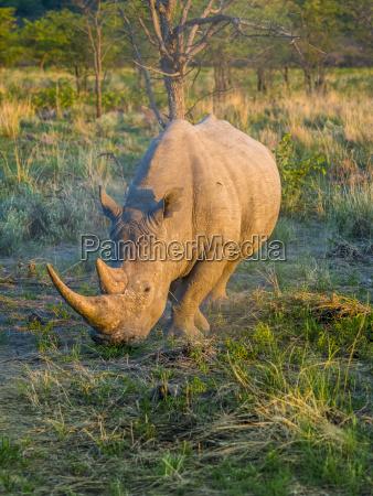 broad mouthed rhinoceros ceratotherium simum in