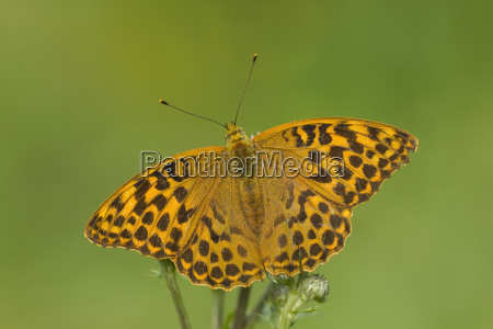 silver washed fritillary argynnis paphia butterfly