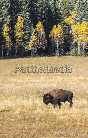 beefalo or cattalo cross between north