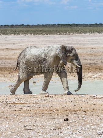 an elephant african elephant loxodonta africana