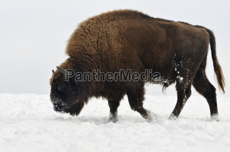 wisent in the snow european bison