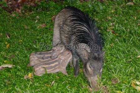 wild boar wild swine or eurasian