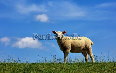 owiec owca grobla zapora dolna saksonia