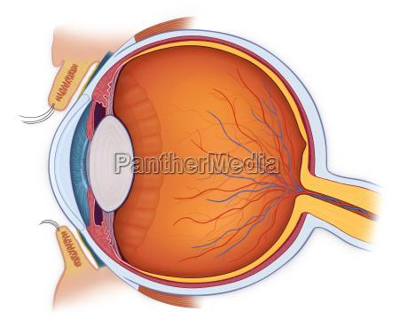 normalna anatomia oka w przekroju poprzecznego