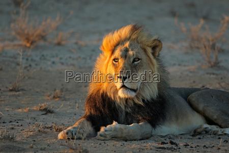 afrykanski lew we wczesnym rankiem light