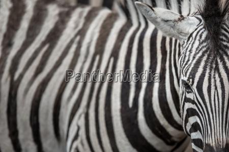 zebra widok z bliska z akcentem
