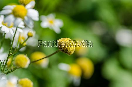 kwiaty rumianku w przyrodzie