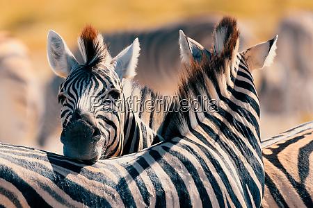 zebra w buszu namibia afryka dzikiej